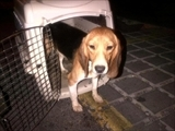 "<br />Trova casa a Corato uno dei beagle salvati dal lager di ""Green Hill""<br />Copyright: CoratoLive.it"